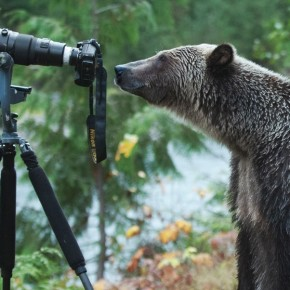 Stop the trophy hunt of grizzly bears petition launched by Kootenay artists